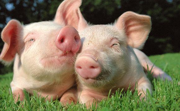Weniger Antibiotika in der Schweinezucht
