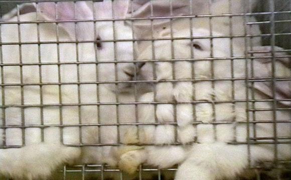Für Verbot von Käfigbatterien für Kaninchen