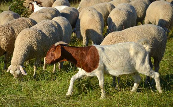 Ziegen- und Schafmilch:Ganz viel bio