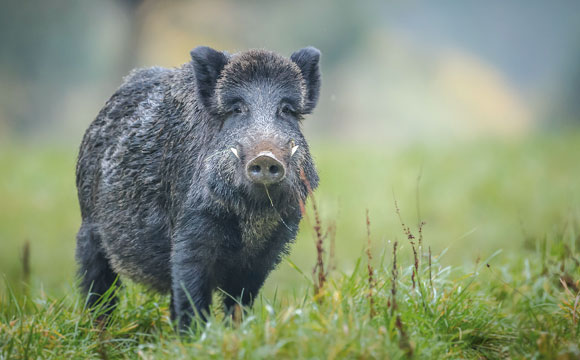 Nachhaltige Produktion und Schweinepest