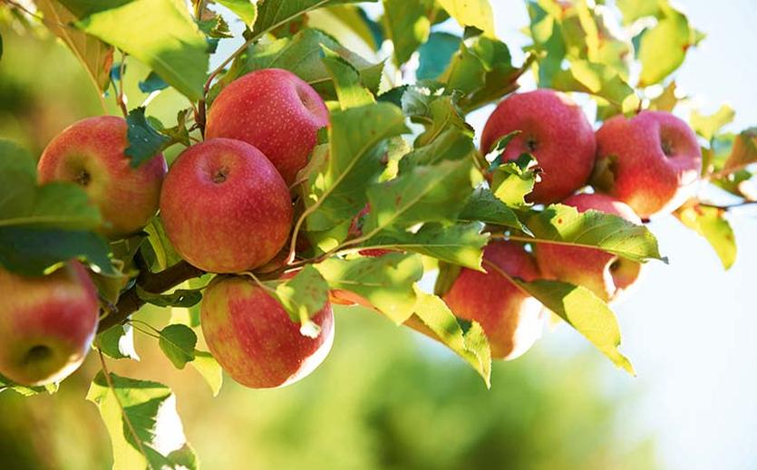Alle wollen Äpfel
