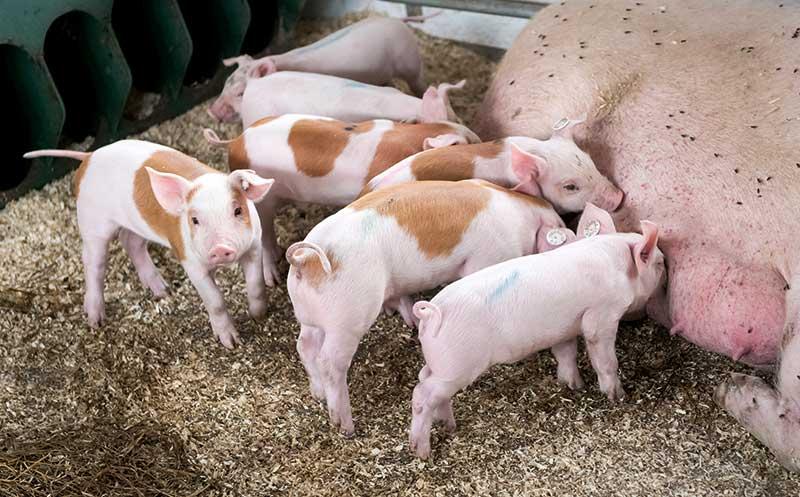 """Schweinefleischprojekt """"100 Prozent Regional"""""""