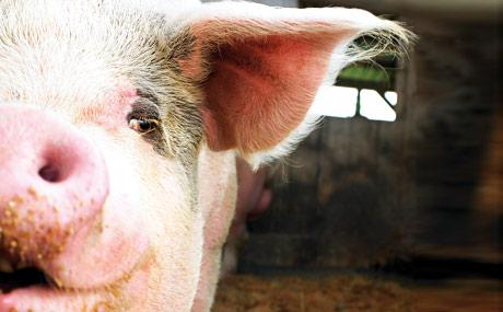 Höhere Produktion von Schwein und Geflügel