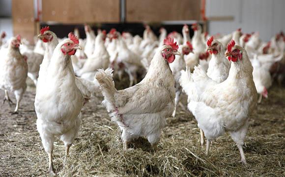 Vogelgrippe:Solidarität des Handels mit Freiland-Betrieben