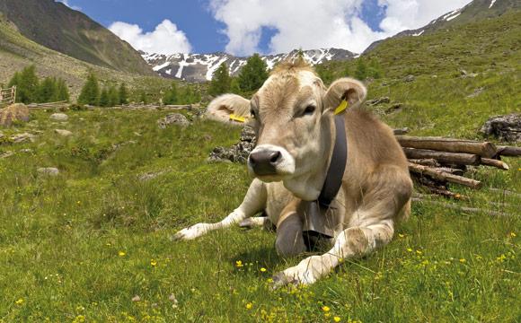 Sommer- und Wintermilch beeinflussen den Käse