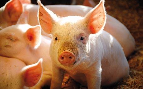 Fleisch unbetäubt kastrierter Schweine verbannt