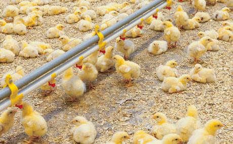Branchenlösung für Tierwohl-Hähnchenfleisch