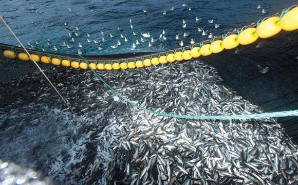 Droht Fangstopp für Hering in der Ostsee?