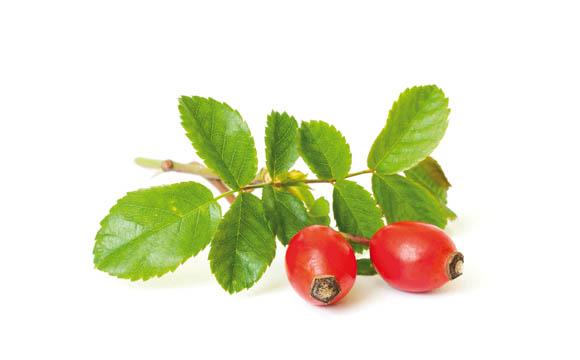 Hagebutte: Hagebutten sind die roten Früchte (genauer Scheinfrüchte) der Heckenrose. Sie reifen im Spätsommer. Hervorzuheben ist ihr hoher Vitamin C-Gehalt.