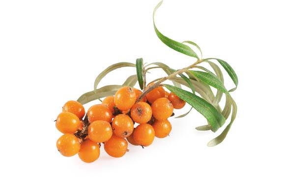 Sanddorn: Der immergrüne, bis zu 6 m hohe Strauch trägt von August bis Ende November die länglich ovalen, orangefarbenen Früchte. Die Ernte von Hand ist aufwändig.