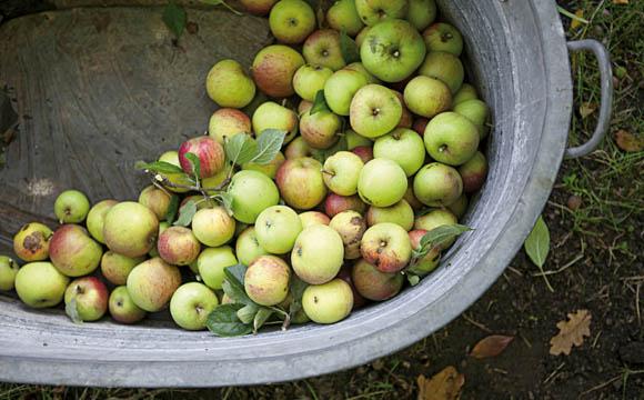 Apfelwein wird aus Mostäpfeln mit hohem Säuregehalt und festem, saftigem Fruchtfleisch hergestellt. Welche Apfelsorten ausgewählt und wie sie gemischt werden gehört zu den besonderen Fertigkeiten des Kellermeisters, denn das prägt den Charakter.
