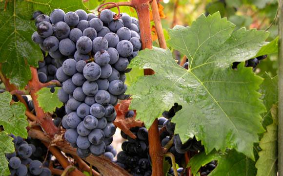 88 % der Bordeaux- Produktion entfallen auf Rotwein.
