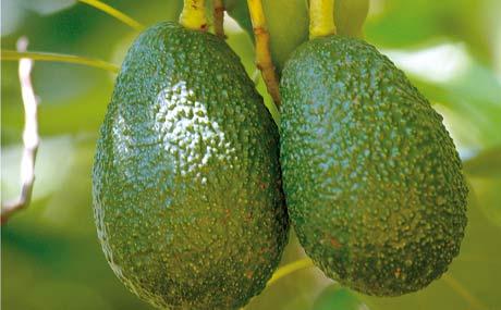 Am Baum: Noch grün und hart, später wird die Avocado dunkler.
