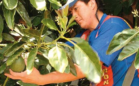 Die Ernte der noch harten Früchte erfolgt per Hand.