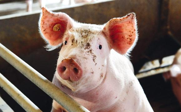 Warnt vor Afrikanischer Schweinepest