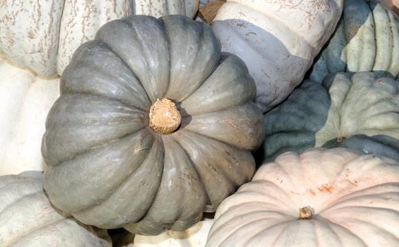 Lumina<br /> Zur Erntezeit weiß, später dunkelt die Schale nach. Die helle Schale macht ihn als Schnitzobjekt beliebt. Doch er schmeckt auch lecker, als Rohkost oder gebraten.