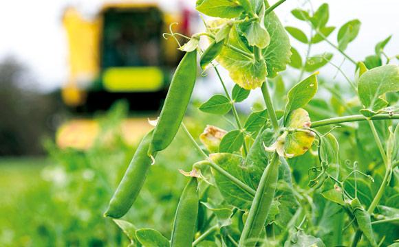 In der Landwirtschaft dienen sie als Gründünger.