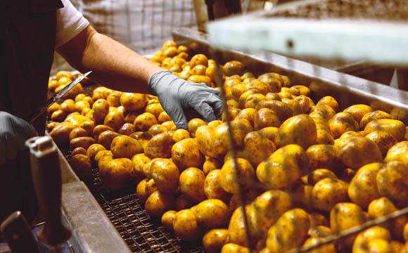 Nach dem Waschen werden beschädigte Kartoffelknollen per Hand ausgelesen.