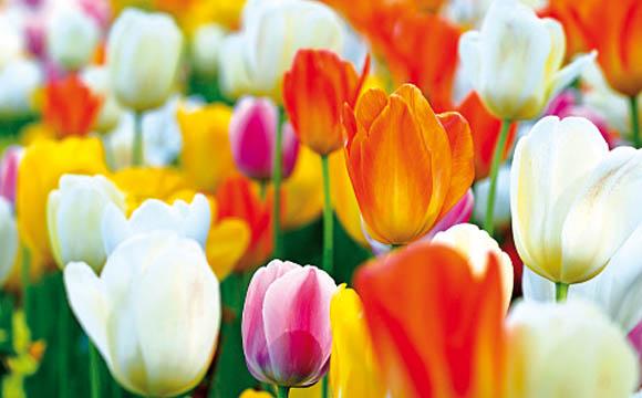 Tulpe:Ab Januar gibt es sie fast überall, manche Sorten wachsen sogar in der Vase noch weiter. Botanisch zählt die Tulpe zu den Liliengewächsen.