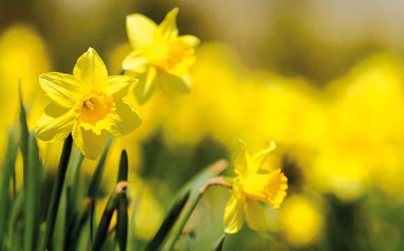 """Narzisse: Die """"Osterglocke"""" bringt schon früh Farbe in die Vase. Wichtig: 24 Stunden separat ausschleimen lassen, ehe man sie zu anderen Blumen ins Wasser stellt."""