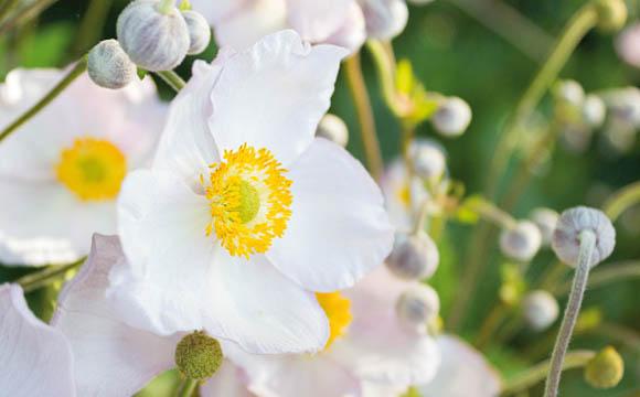 Anemone: Gibt es vom Frühjahr bis zum späten Herbst. Die Verwandte von Buschwindröschen und Ranukel ist auch eine beliebte, robuste Beetpflanze.