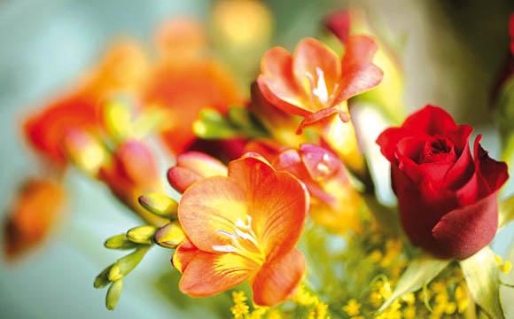 Freesie: Brillanz, subtiler Duft und ein Hauch von Nostalgie: Die feinen Freesien haben mit ihre vielen Farbtönen ein Comeback in der Vase verdient.