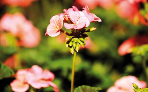 Geranie: Klassiker und Modepflanze zugleich, ührt die Geranie (Pelargonie) die Hitliste der Dauerblüher an. Sie liebt die Sonne, verträgt aber auch mal Regen.
