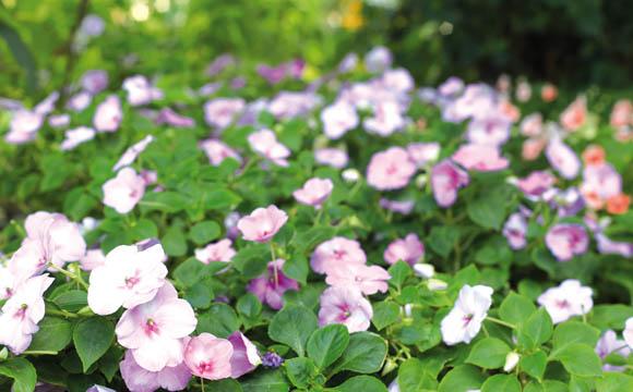 Fleißiges Lieschen: Ausdauernd und immergrün, wird es meist einjährig kultiviert. Zahlreiche unterschiedliche Sorten fühlen sich auch im Schatten wohl.