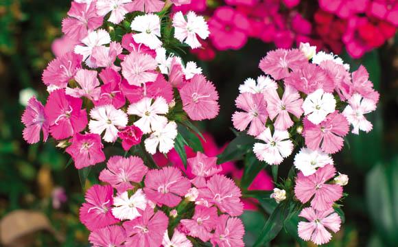 Bartnelke: Die zweijährige Staude mit ihren buschigen Blüten bereichert bereits im späten Frühjahr den Garten und ist auch als Schnittblume eine Attraktion.