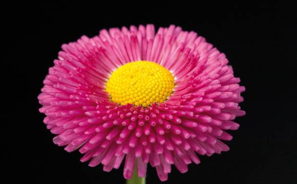 Tausendschön: Maßliebchen, Monatsröschen, Gänseblümchen: Die Bellis gibt es in vielen Farben und gehören zu den wenigen essbaren Frühjahrsblühern.