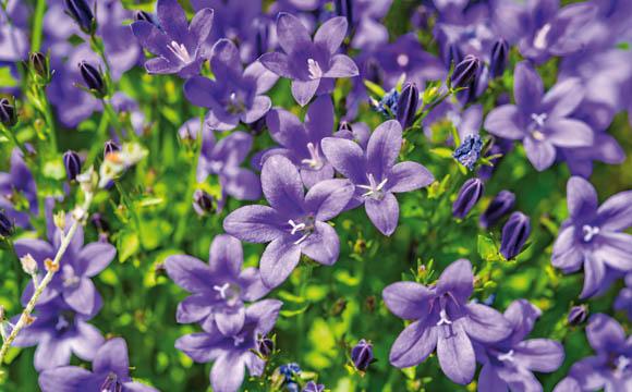 Glockenblume: Campanula gibt es in vielen Spielarten – vom niedrigen Polster bis zur üppigen Zimmerpflanze. An unterschiedlich besonnte Standorte angepasst.