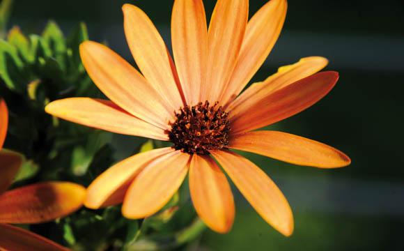 Kapblume: In den letzten Jahren trendig gewordener Korbblütler, der die pralle Sonne liebt. In vielen Farben für Beet und Balkon geeignet.
