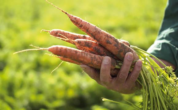Manche Hersteller verwenden für die Beikost Bio-Gemüse.