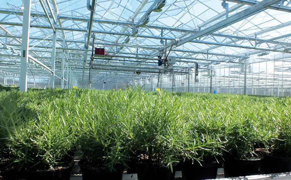 Die meisten Kräuter wachsen sechs bis acht Wochen, ehe sie in den Verkauf gelangen.