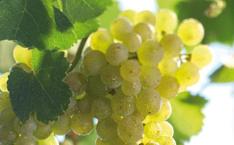 Riesling: Aus der deutschen Leitrebe werden sowohl unkomplizierte Alltagsweine als auch Prädikatsweine mit hohen Qualitätsstufen sowie restsüße oder edelsüße Weine hergestellt.