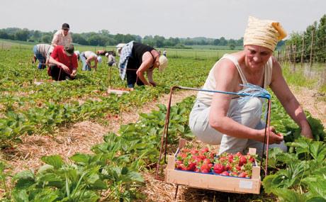 Erdbeerenernte. (Bildquelle: Agrarmarkt Informations-Gesellschaft mbH (AMI)/Pressebüro deutsches Obst und Gemüse)