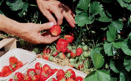 2 von 3 Verbrauchern kaufen ihre Erdbeeren in Supermärkten und Discountern. (Bildquelle: Agrarmarkt Informations-Gesellschaft mbH (AMI)/Pressebüro deutsches Obst und Gemüse)