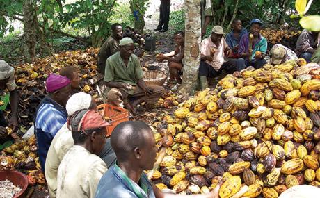 Noch auf der Plantage brechen Arbeiter die Kakao-Schoten auf.
