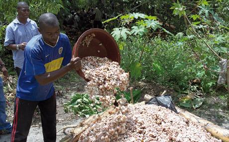 Anschließend gären die Kakaobohnen, eingeschlagen in Bananenblättern. Im Produktionsbetrieb: ...