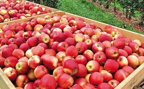 Apfelsaft wird teurer