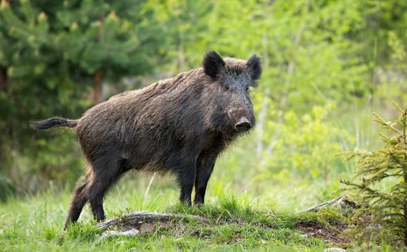 Afrikanische Schweinepest: Zwei weitere Funde in Sachsen