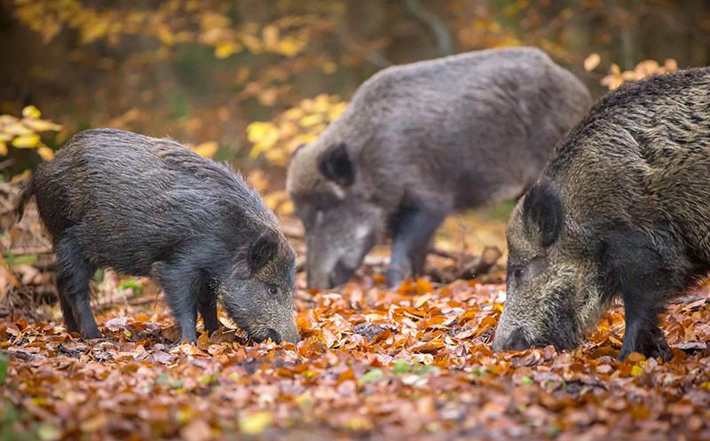 Bayern forciert Jagd auf Wildschweine