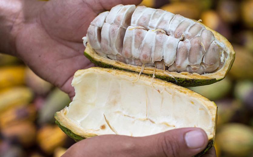 Nur noch Fairtrade-Kakao