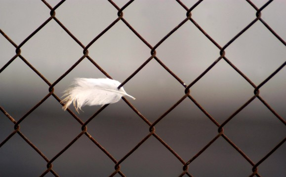 A single white turkey chicken feather on metal fence after Bird Flu Outbreak.
