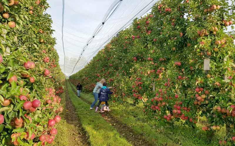 1541 Paten für Apfelbäume