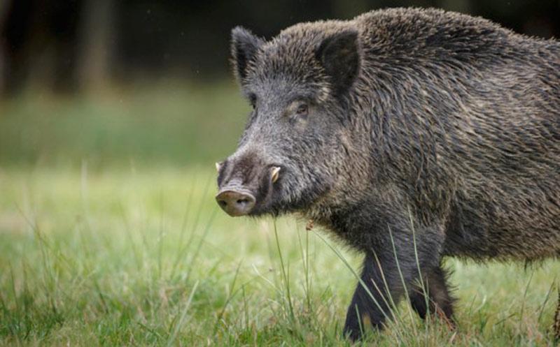 Afrikanische Schweinepest: Erster Fall außerhalb der Kernzone