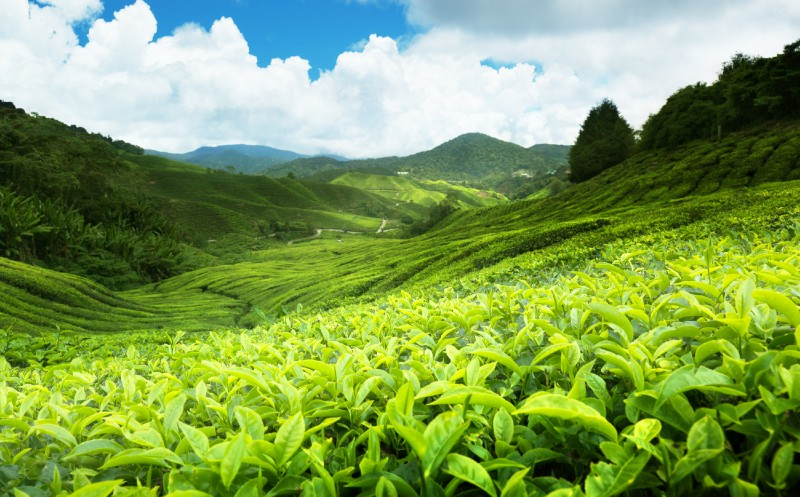 Hochsommer pusht Teekonsum